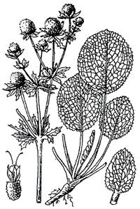 Эрингиум водяной (Eryngium aquaticum)