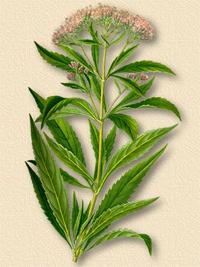 Посконник пронзеннолистный (Eupatorium perfoliatum)