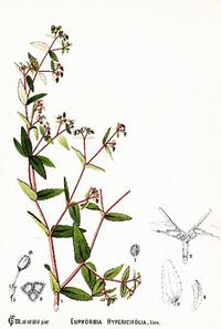 Молочай (Euphorbia corollata)