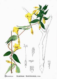 Жасмин вечнозеленый (Gelsemium sempervirens)