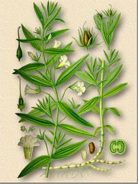 Авран лекарственный (Gratiola officinalis)