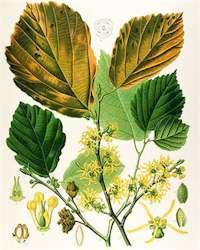 Гамамелис виргинский (Hamamelis virginica)