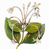 Игнация горькая, Бобы св. Игнация (Ignatia amara)