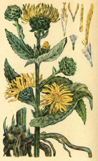 Девясил высокий (Inula helenium)