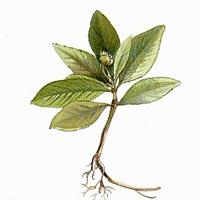 Ипекакуана, Рвотный корень (Ipecacuanha, Cephaelis ipecacuanhae)