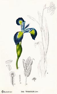Ирис пестрый, Касатик разноцветный (Iris versicolor)