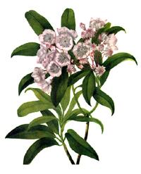 Кальмия широколистная, Американский лавр (Kalmia latifolia)