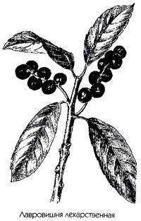 Лавровишня (Laurocerasus officinalis)