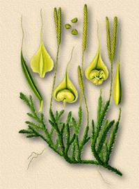 Плаун булавовидный (Lycopodium clavatum)