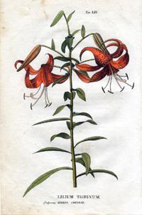 Лилия тигровая (Lilium tigrinum)