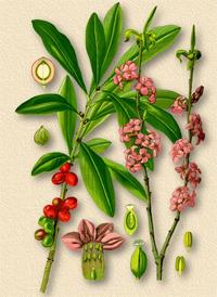 Волчеягодник обыкновенный, Волчье лыко (Mezereum, Daphne mezereum)
