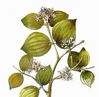 Рвотный орех, Чилибуха (Nux vomica)