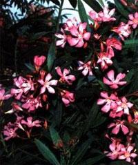 Олеандр (Oleander nerium)