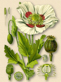 Мак снотворный (Opium, Papaver somniferum)