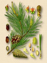 Сосна обыкновенная (Pinus silvestris)