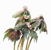 Ноголистик щитовидный (Podophyllum peltatum)