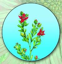 Ратания перуанская, Крамерия трехтычинковая (Ratania peruviana, Krameria triandra)