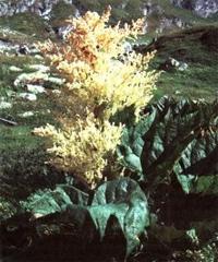 Ревень пальчатый (Rheum palmatum, Rhabarbarum)