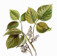 Сумах ядовитый (Rhus toxicodendron)