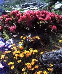 Рододендрон, Кашкарник золотистый (Rhododendron aureum)