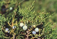 Можжевельник казацкий (Sabina, Juniperus sabine)