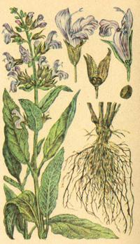 Шалфей аптечный (Salvia officinalis)