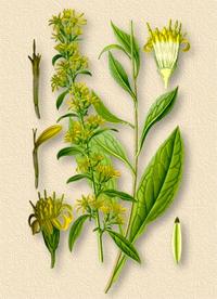 Солидаго, Золотая розга (Solidago virga aurea)