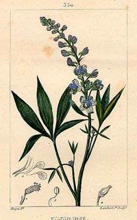 Стафизагрия, Стефаново семя (Staphysagria, Delphinium staphisagria)