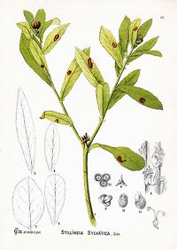 Стиллингия лесная (Stillingia silvatica)