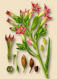 Tabacum, Nicotiana Tabacum (Табак никотиновый)