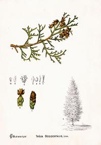 Туя западная, Дерево жизни (Thuja occidentalis)