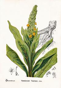 Царский скипетр, Коровяк (Verbascum thapsiforme)