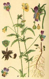 Фиалка трехцветная. Анютины глазки (Viola tricolor)