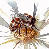 Пчела медоносная (Apis mellifica)